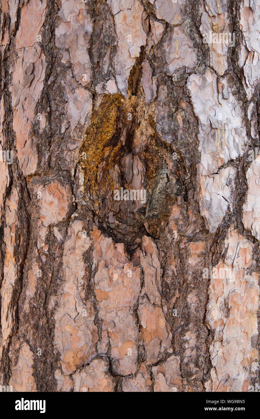 La consistenza della corteccia di un albero di grandi dimensioni pine Foto Stock