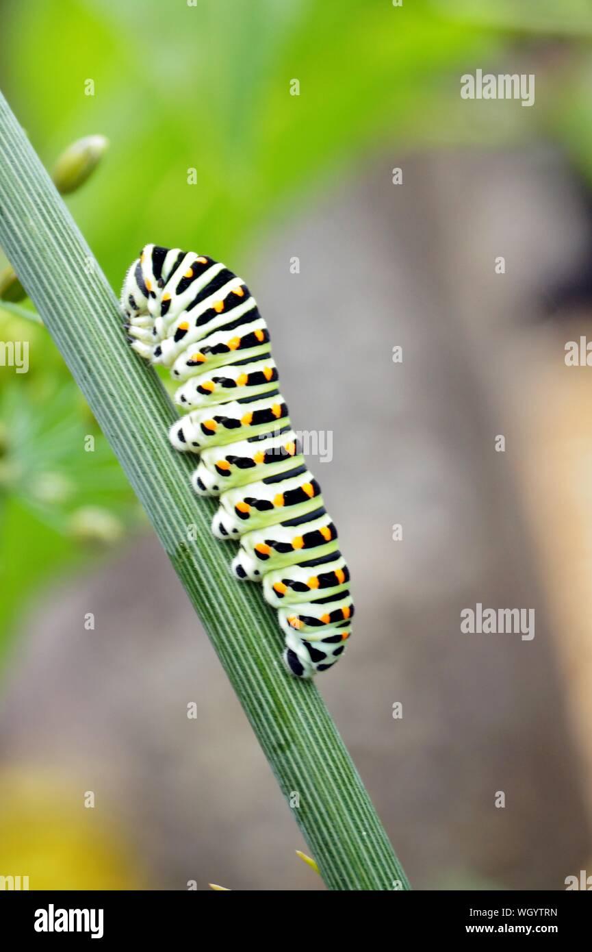 Caterpillar di una coda forcuta Papilio machaon sul verde e fresco fragrante aneto Anethum graveolens nel giardino. Pianta di giardino. Alimentazione Caterpillar su aneto. Foto Stock