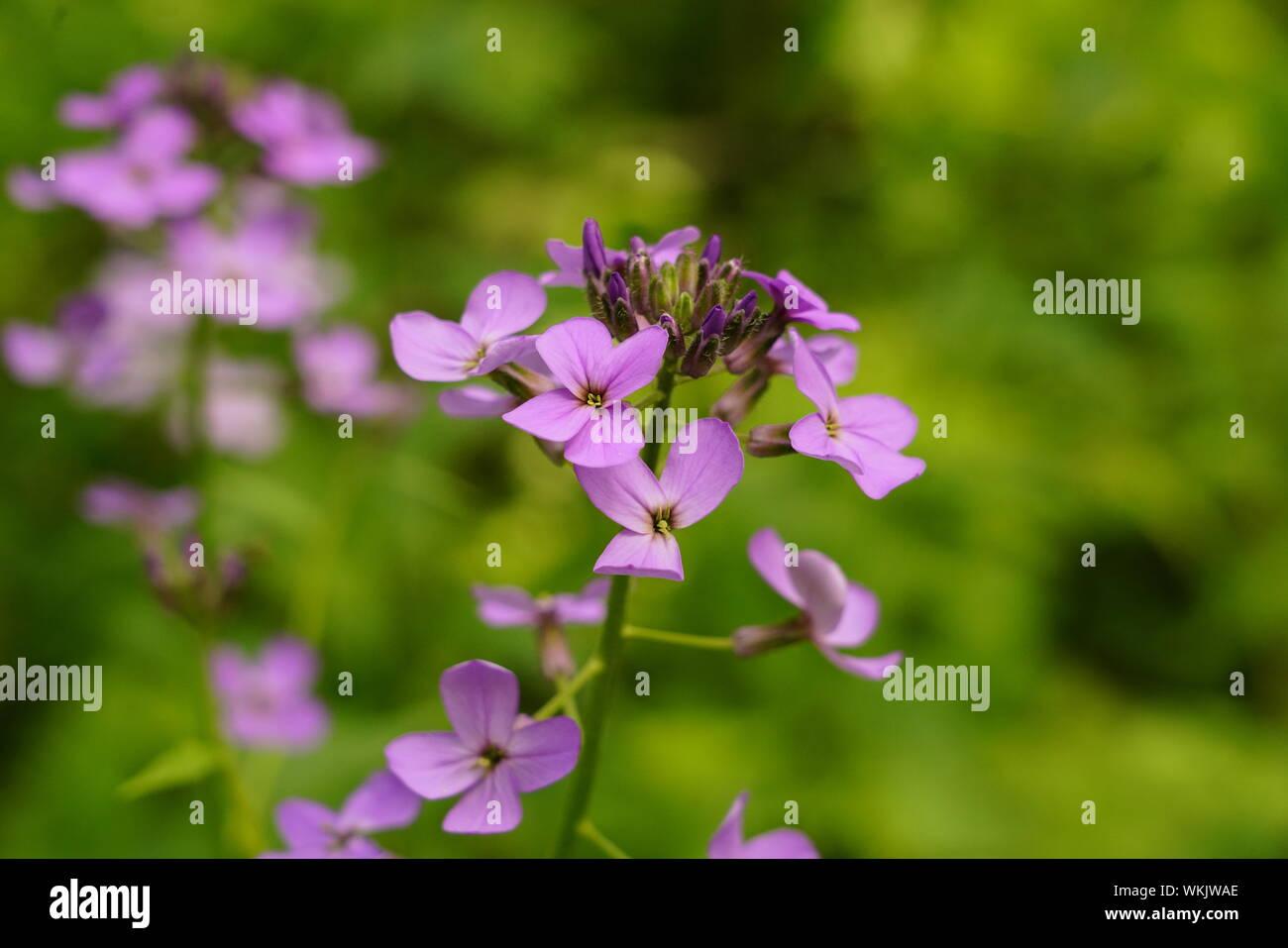 Come Far Fiorire Le Ortensie bella viola i fiori delle ortensie fioritura in estate foto