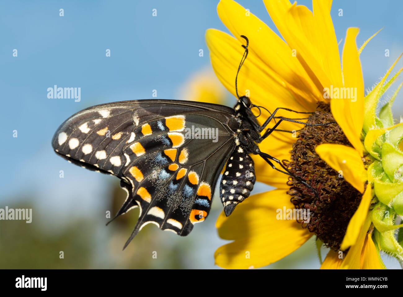 Nero a farfalla a coda di rondine su un nativo di girasole selvatico contro il cielo blu Foto Stock