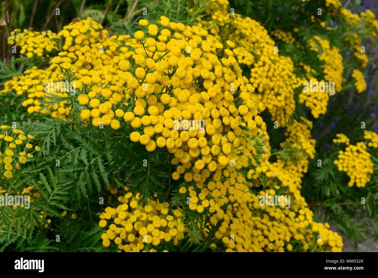 Pianta Simile Al Rosmarino pianta simile all'erba immagini & pianta simile all'erba
