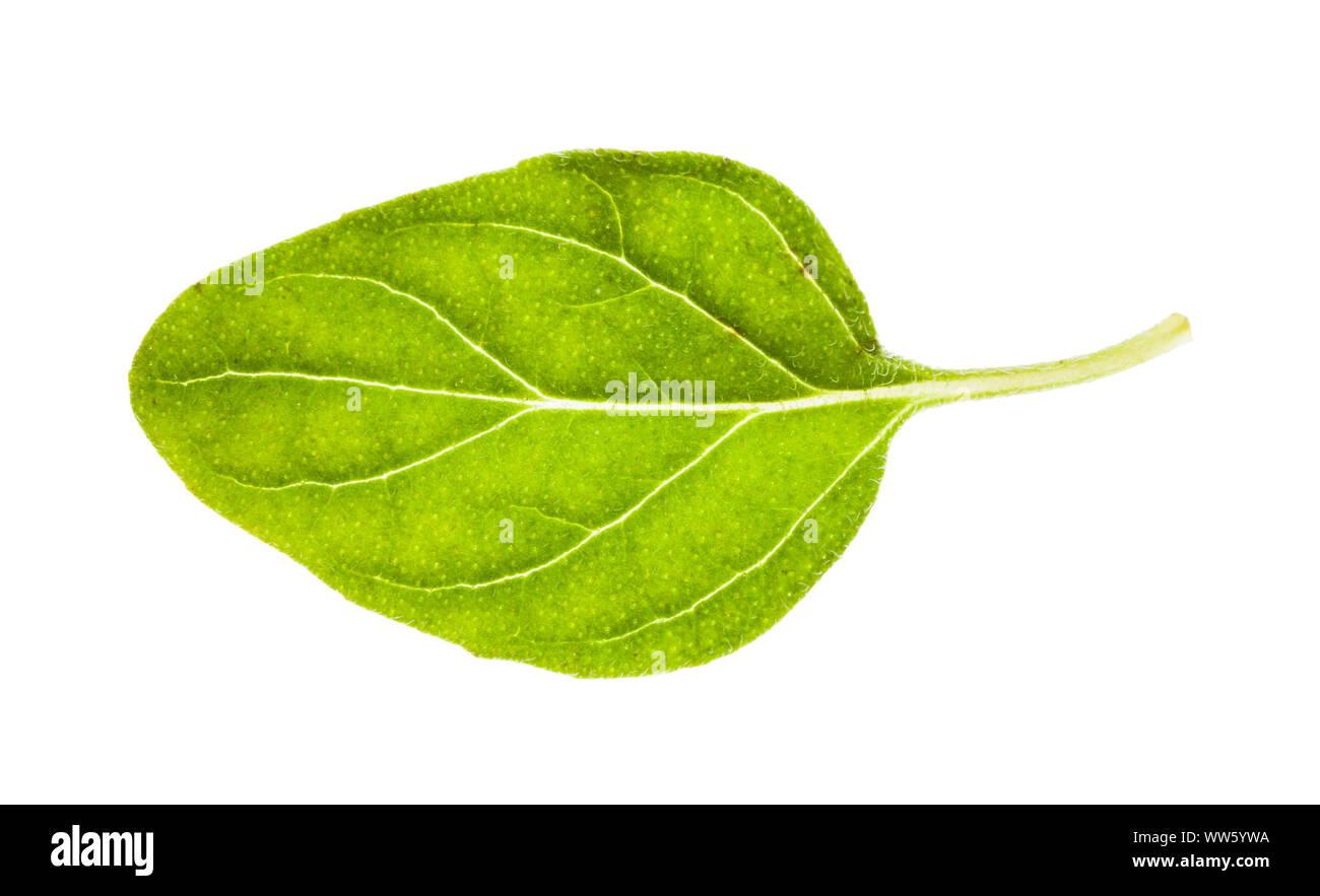 Foglie fresche di origano herb isolati su sfondo bianco Foto Stock
