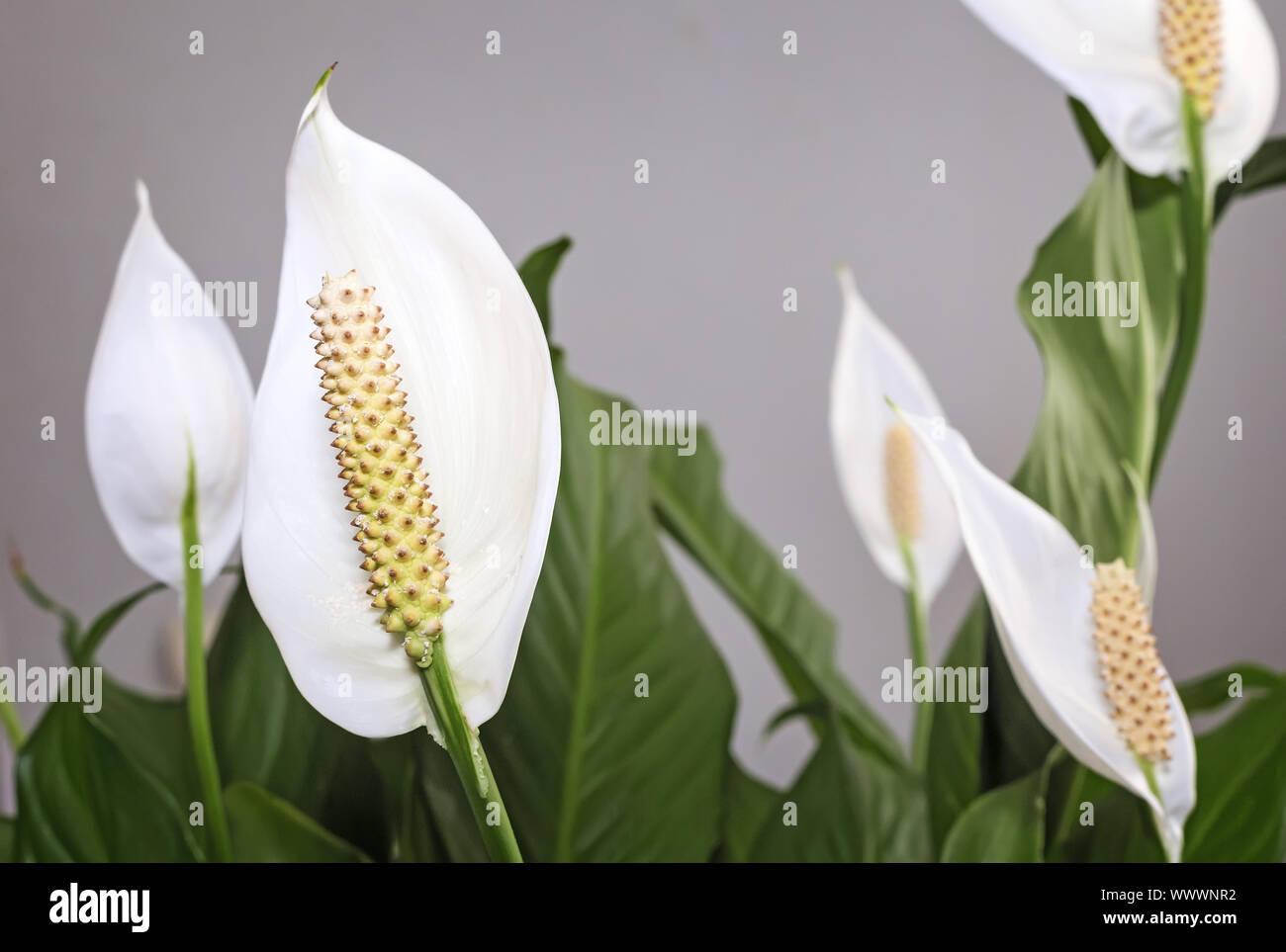 Fioritura fiori bianchi spathiphyllum. Foto Stock