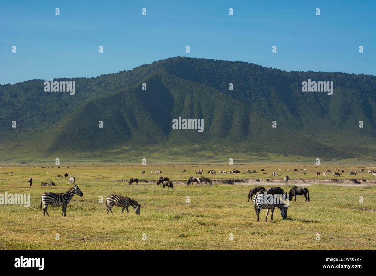 Zebre comune (Equus quagga) nel cratere di Ngorongoro, Ngorongoro Conservation Area, Sito Patrimonio Mondiale dell'UNESCO, Tanzania, Africa orientale, Africa Foto Stock