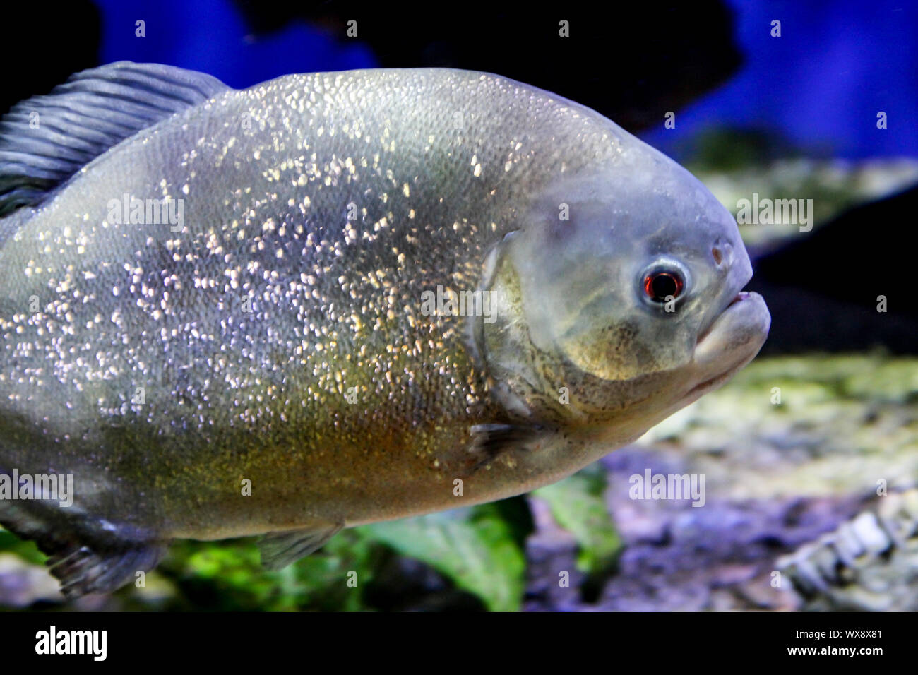 Close up di un Piranha Foto Stock