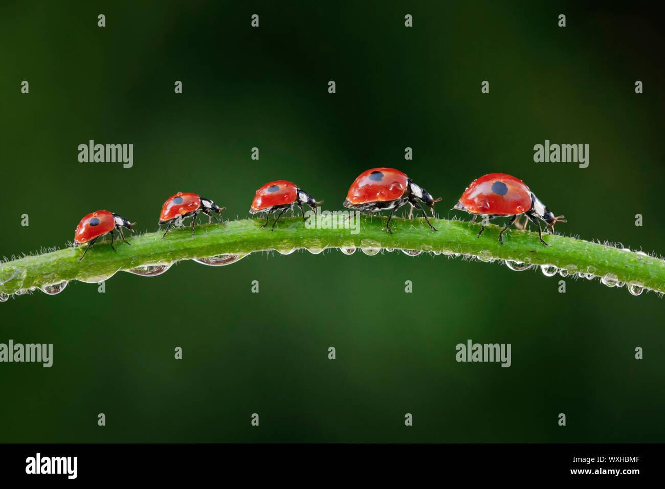 Due macchie coccinella, due macchie Lady Beetle (Adalia bipunctata). Cinque coleotteri su una rugiada-coperto levetta. La composizione digitale. Foto Stock