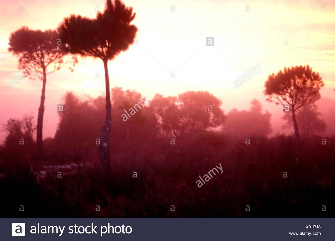 Amanecer en el pinar dentro del Parque Nacional de Doñana. Immagini Stock