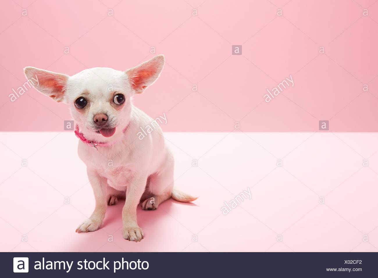 Ritratto di un chihuahua facendo una faccia Immagini Stock