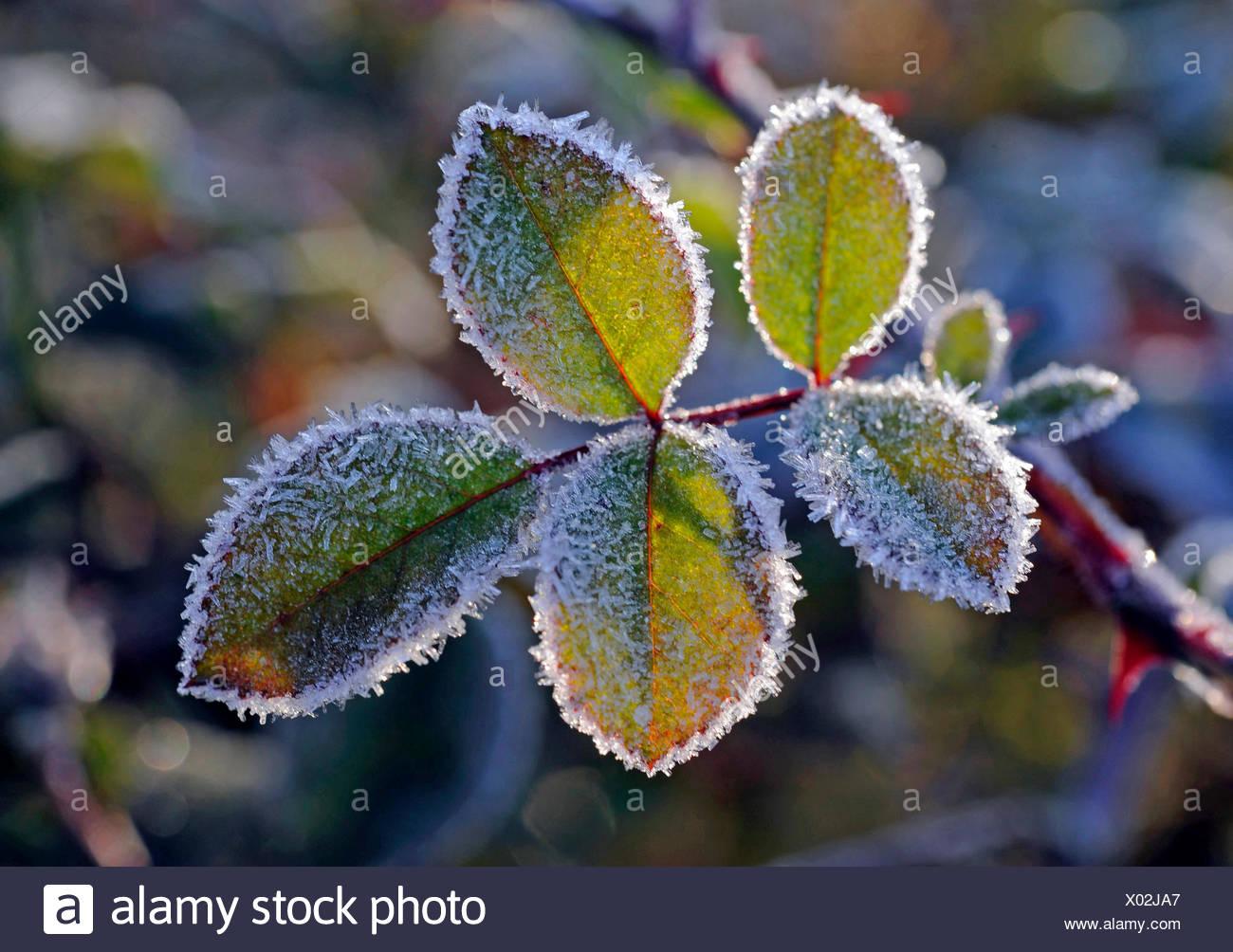 Rose Fogliame della rosa rampicante rosa simpatia nel giardino, insorgenza di inverno, brina Immagini Stock