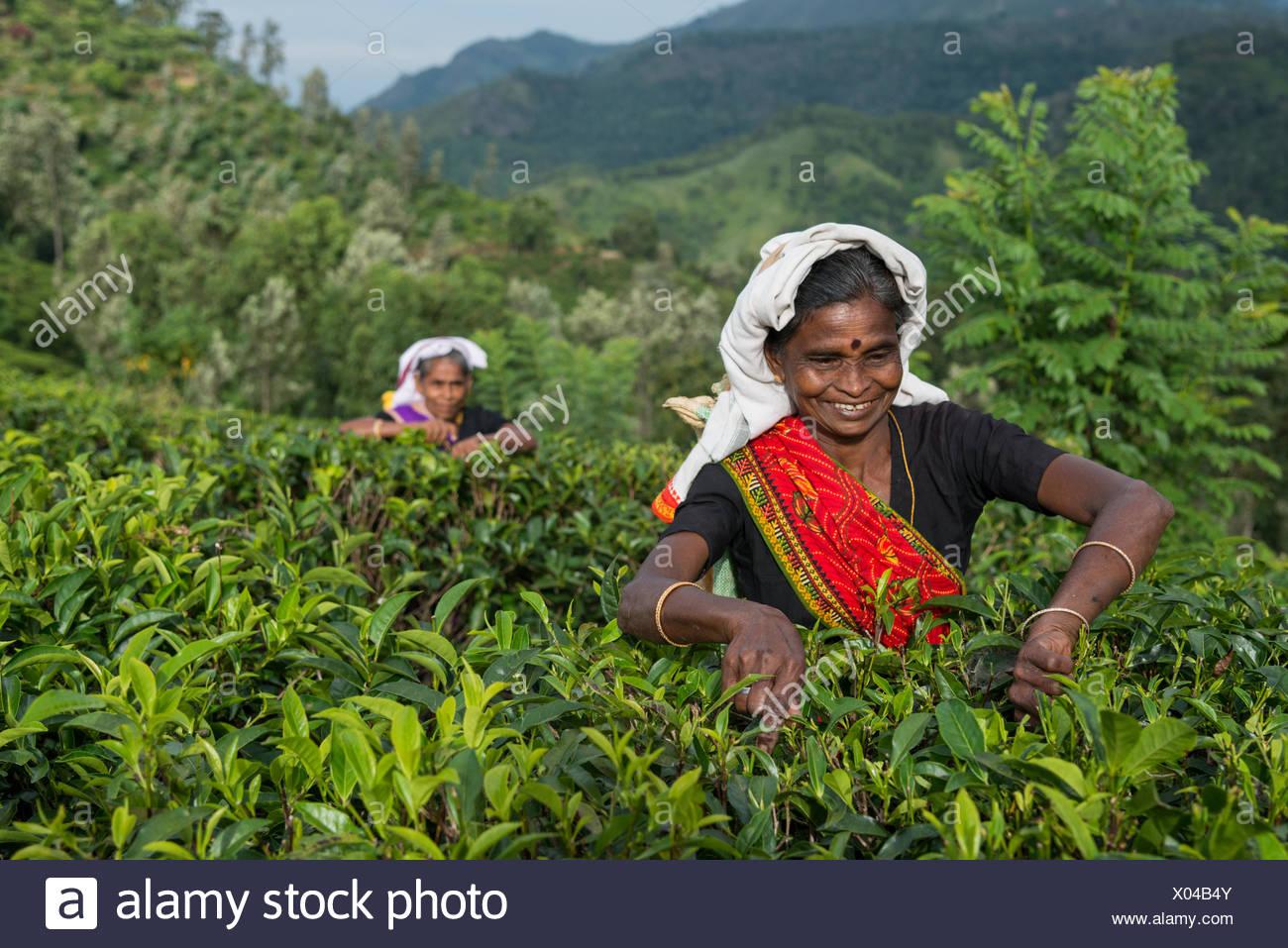 Due donne picking tè, sri lanka Immagini Stock