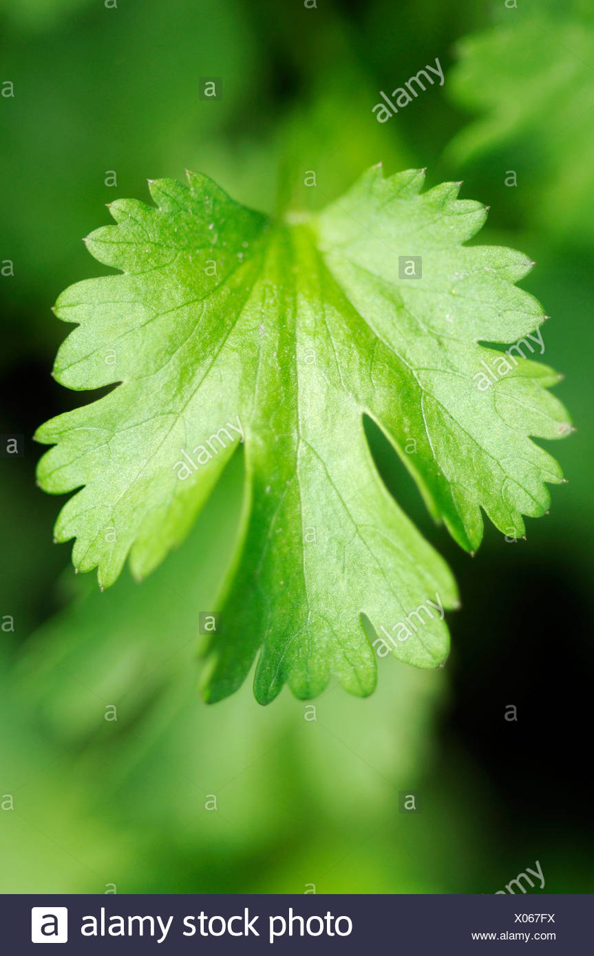 Il coriandolo (Coriandrum sativum) Immagini Stock