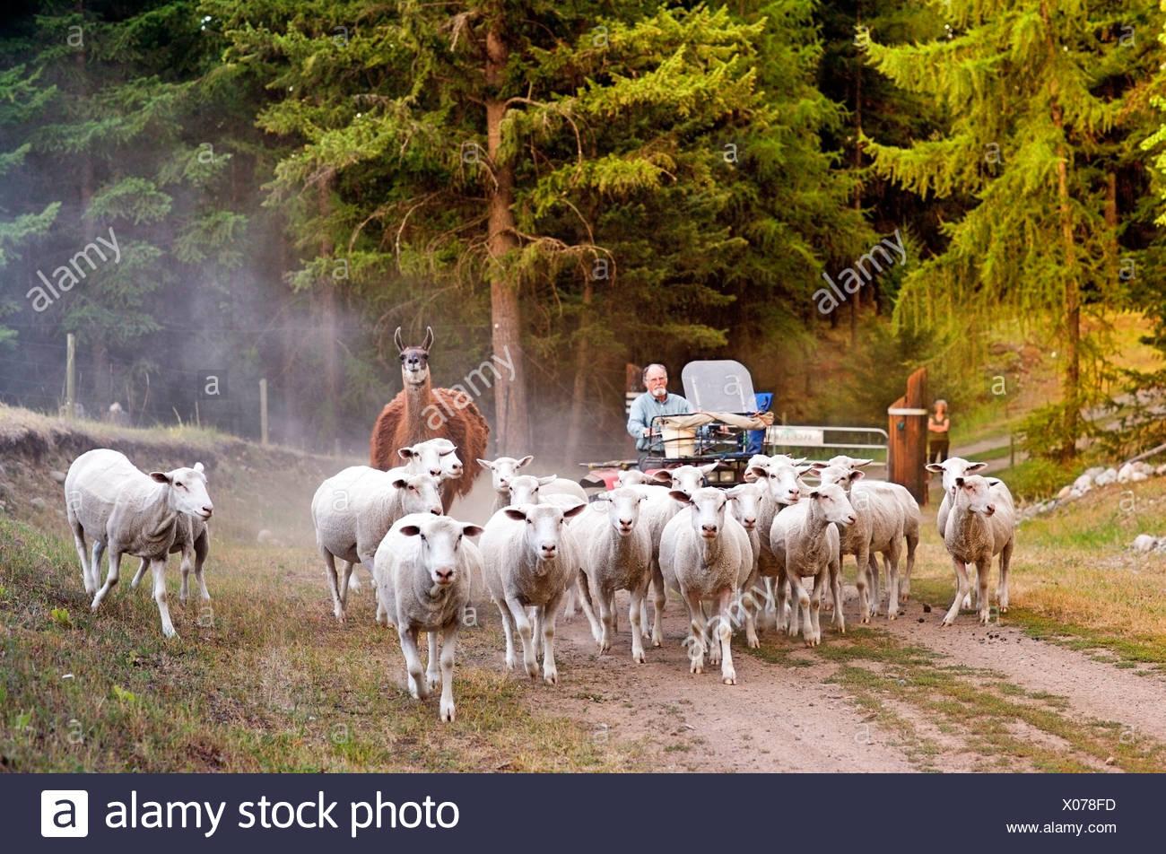 Imbrancandosi pecore alla fattoria di salvia, Rock Creek, British Columbia, Canada, agricoltura, persone, agricoltura, modello rilasciato Immagini Stock