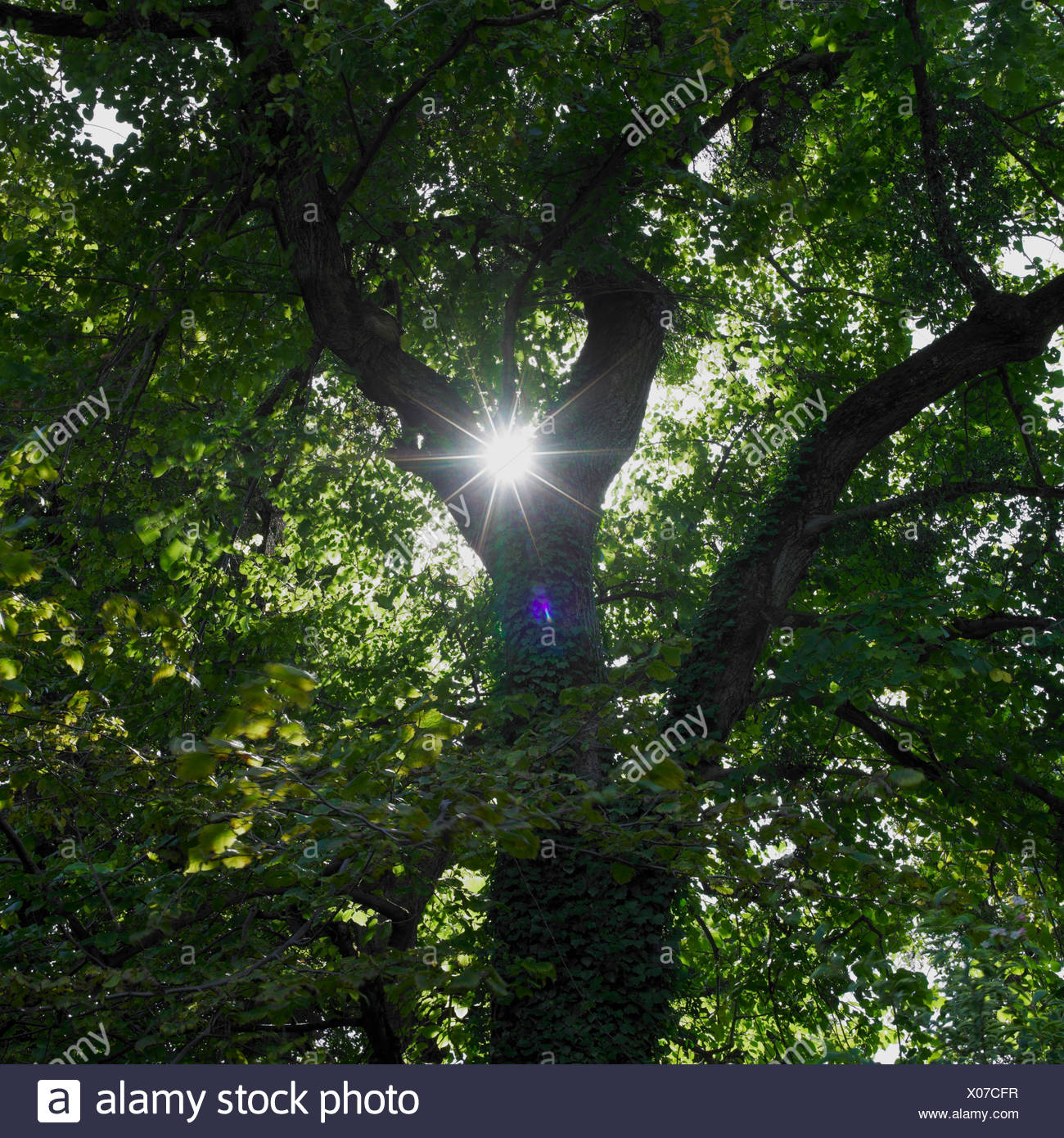 Sun splendenti trogolo di foglie di albero Immagini Stock