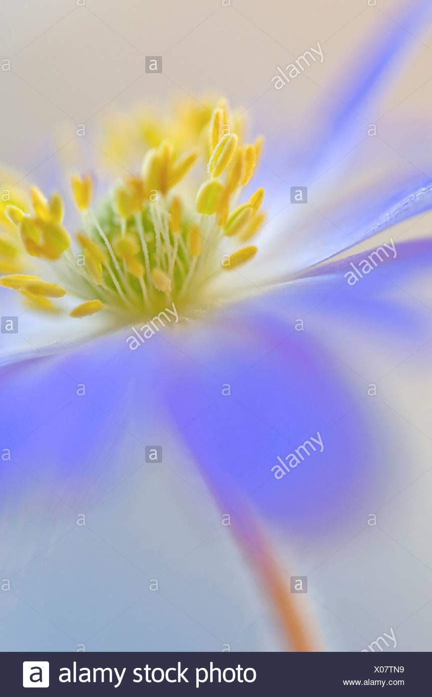 Anemone blanda, fiore blu ciuffo di stami gialli oggetto. Foto Stock