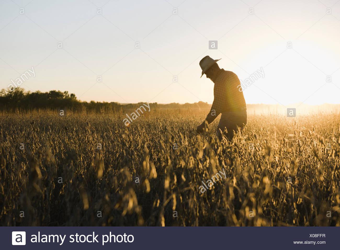 Stagliano senior agricoltore maschio guardando il raccolto di soia al tramonto, Plattsburg, Missouri, Stati Uniti d'America Immagini Stock
