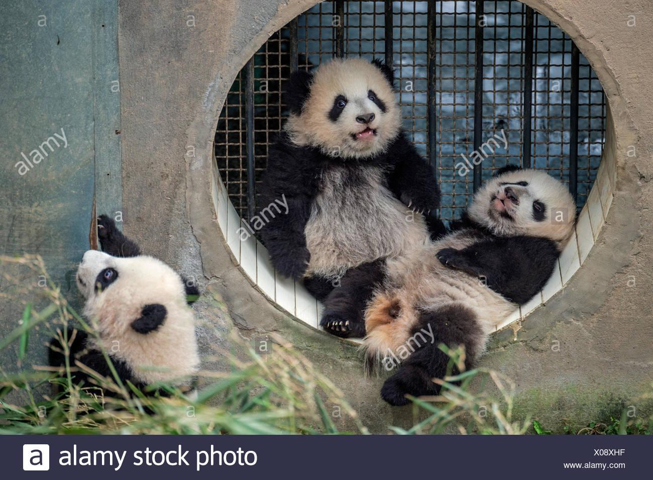 Tre bambino gigante cuccioli di panda sollevata da una madre single al Bifengxia Panda Gigante allevamento e centro di ricerca. Immagini Stock