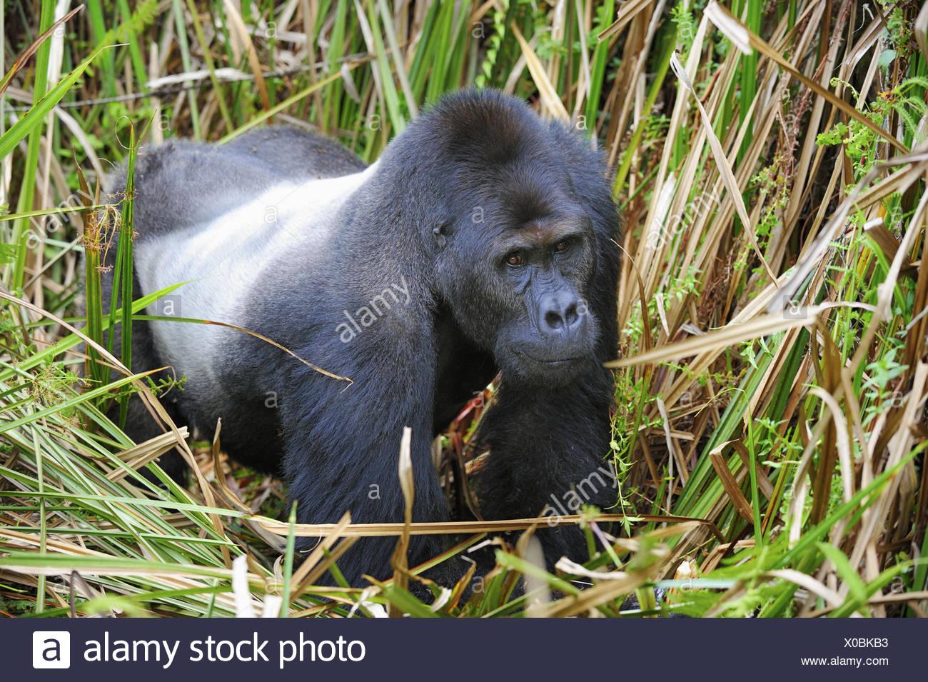 Silverback pianura orientale gorilla nelle paludi del Kahuzi Biega Park (Gorilla beringei graueri) Repubblica democratica del Immagini Stock