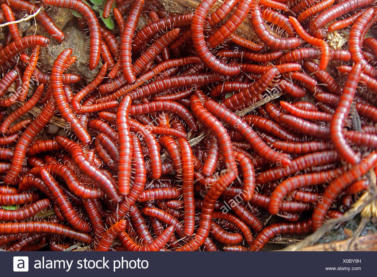Quando Millipedes allarmato, la maggior parte della bobina millipedes fino nel tentativo di proteggere se stessi, riscontrato durante il monsone, quasi in un gruppo Maharashtra, India Immagini Stock