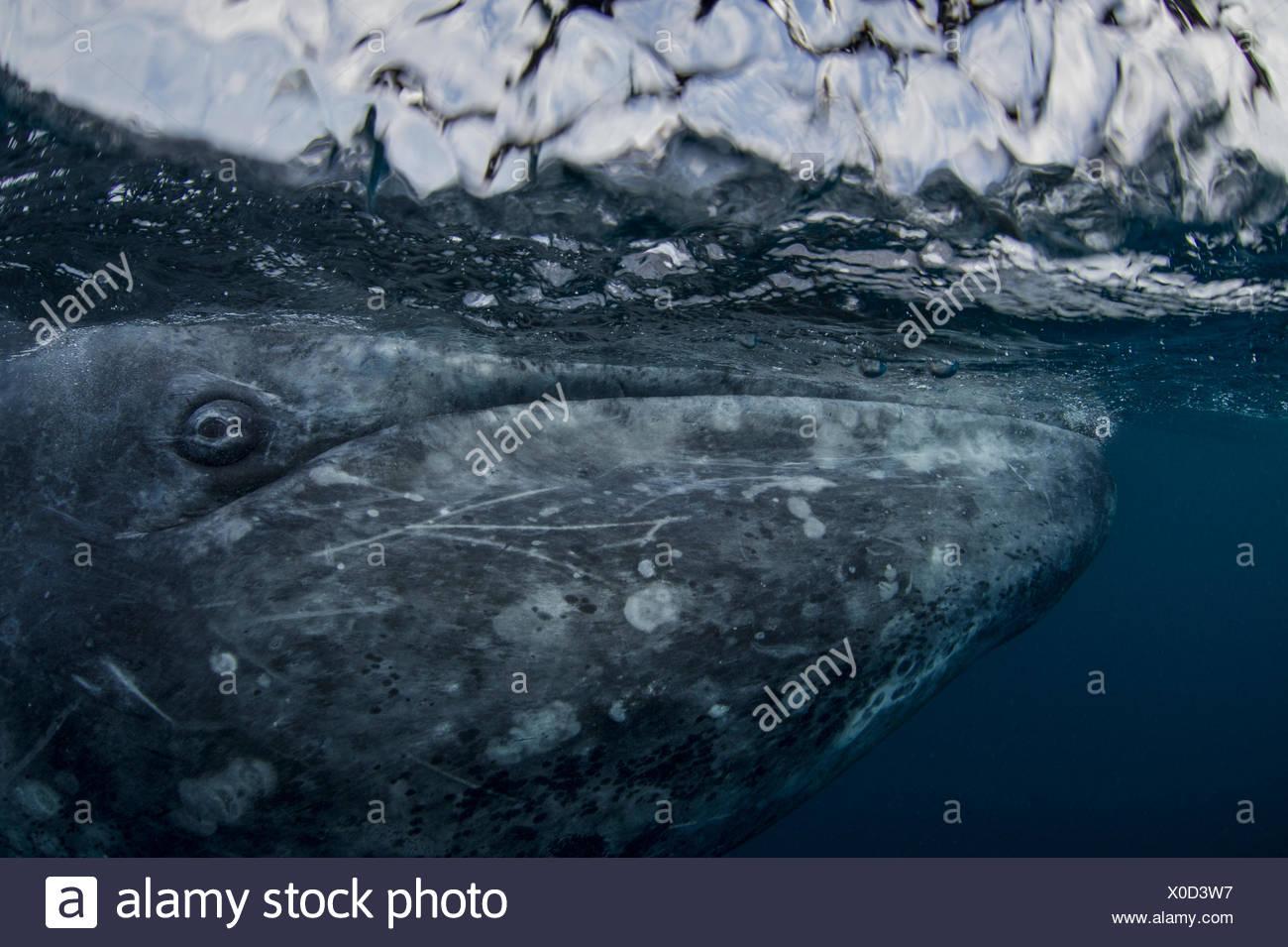 Una balena grigia, Eschrichtius robustus, nuoto in San Ignacio laguna. Immagini Stock