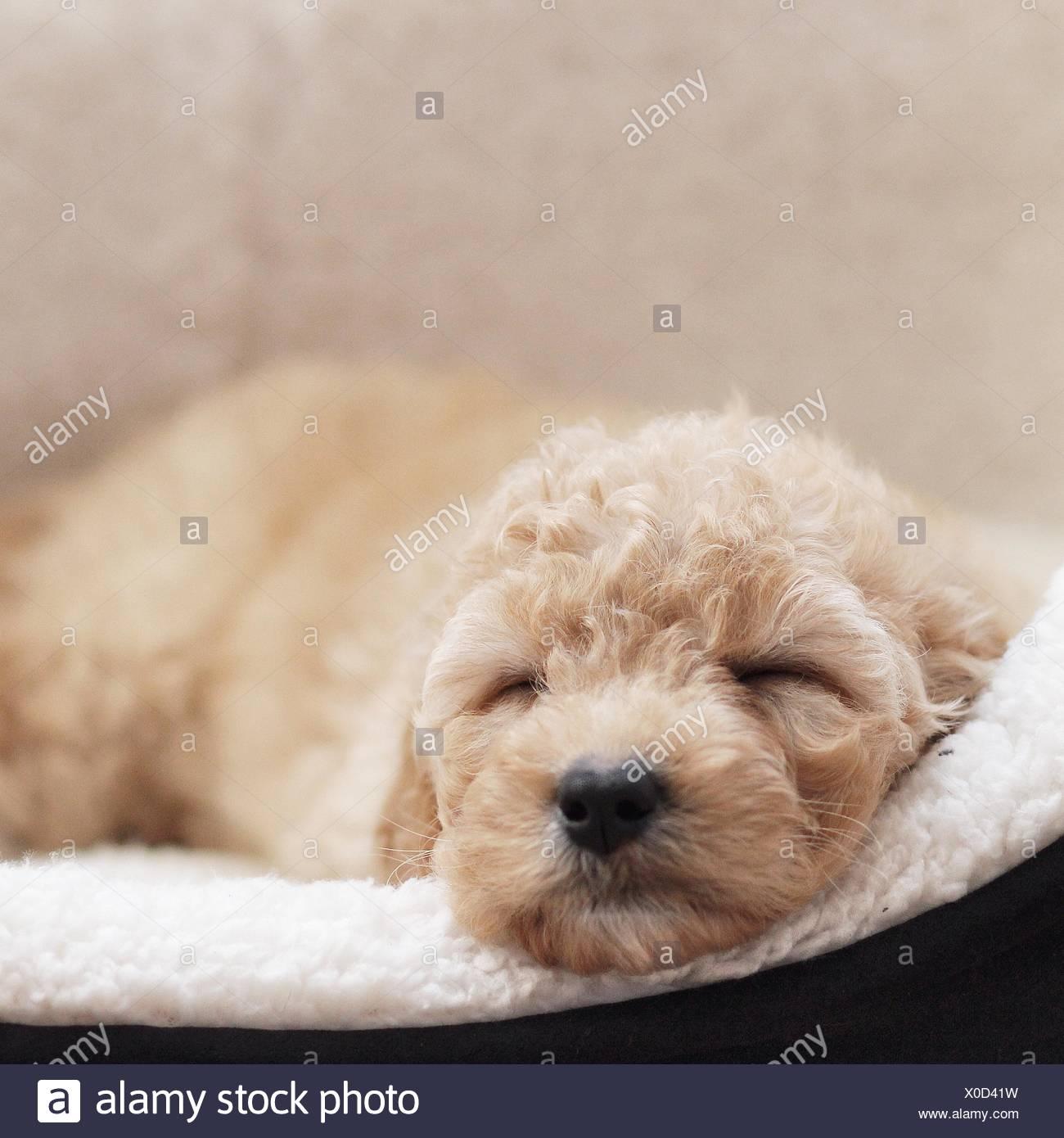 Cucciolo di cane dorme nel cestino Immagini Stock
