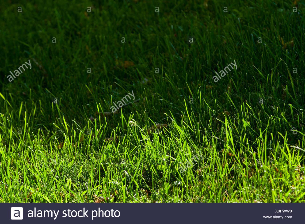 Semi di erba nel sole e metà in ombra; St. Albert Alberta Canada Immagini Stock