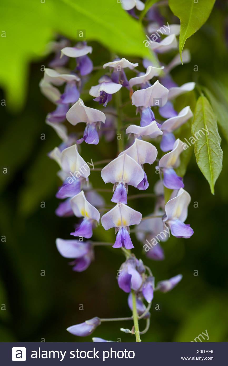 Il Glicine floribunda 'DOMINO' Immagini Stock