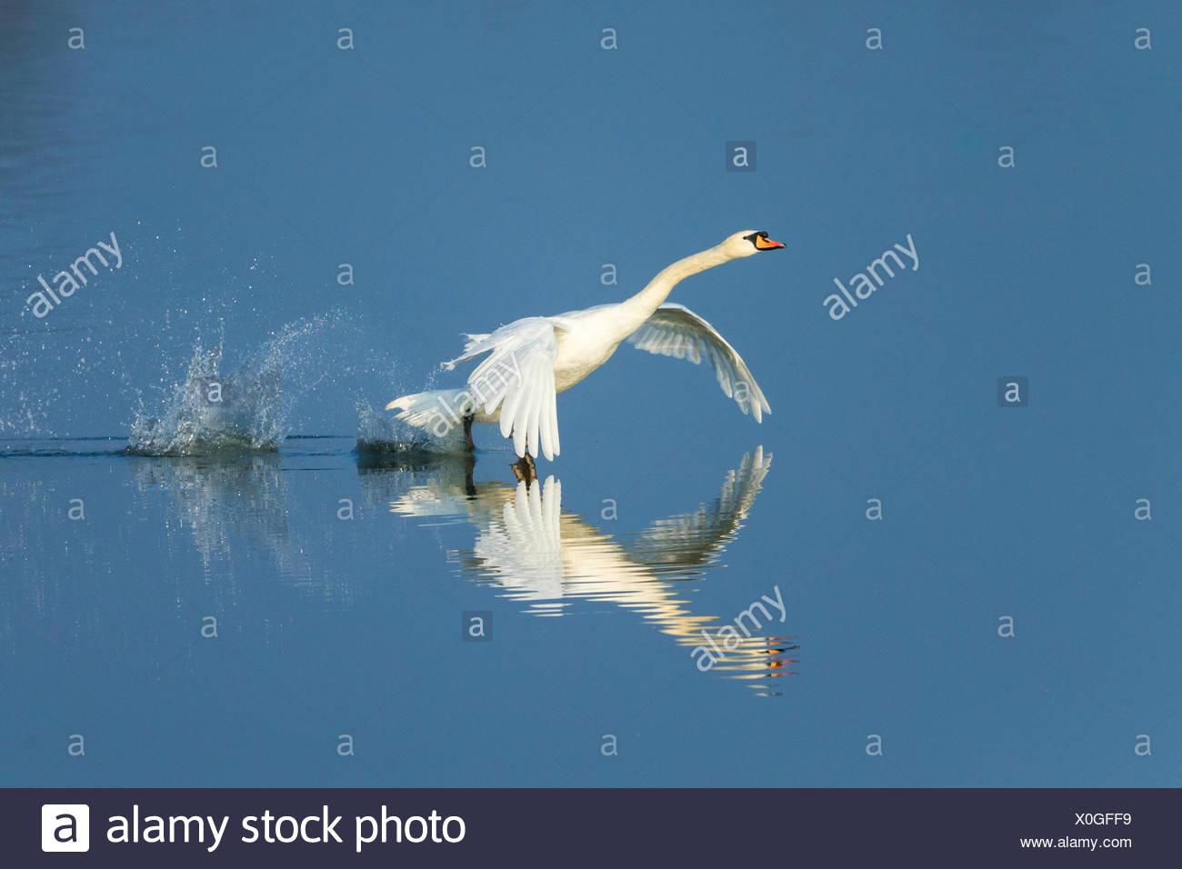 Cigno (Cygnus olor), si toglie l'acqua, Germania Immagini Stock