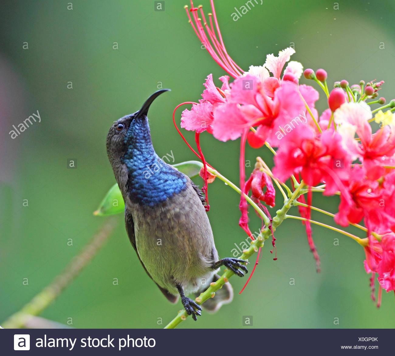 Seychelles Sunbird Nectarinia Dussumieri Maschio Cerca Il Nettare