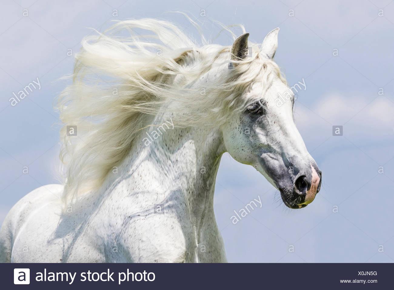 Puro Cavallo Spagnolo andaluso. Ritratto di stallone grigio con la criniera fluente. Germania Immagini Stock