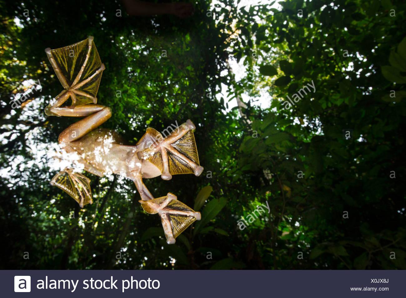 Wallace maschio's Flying Frog battenti/scivolando giù per piscine temporaneo sul suolo della foresta, Sabah Borneo (Rhacophorus nigropalmatus) Immagini Stock
