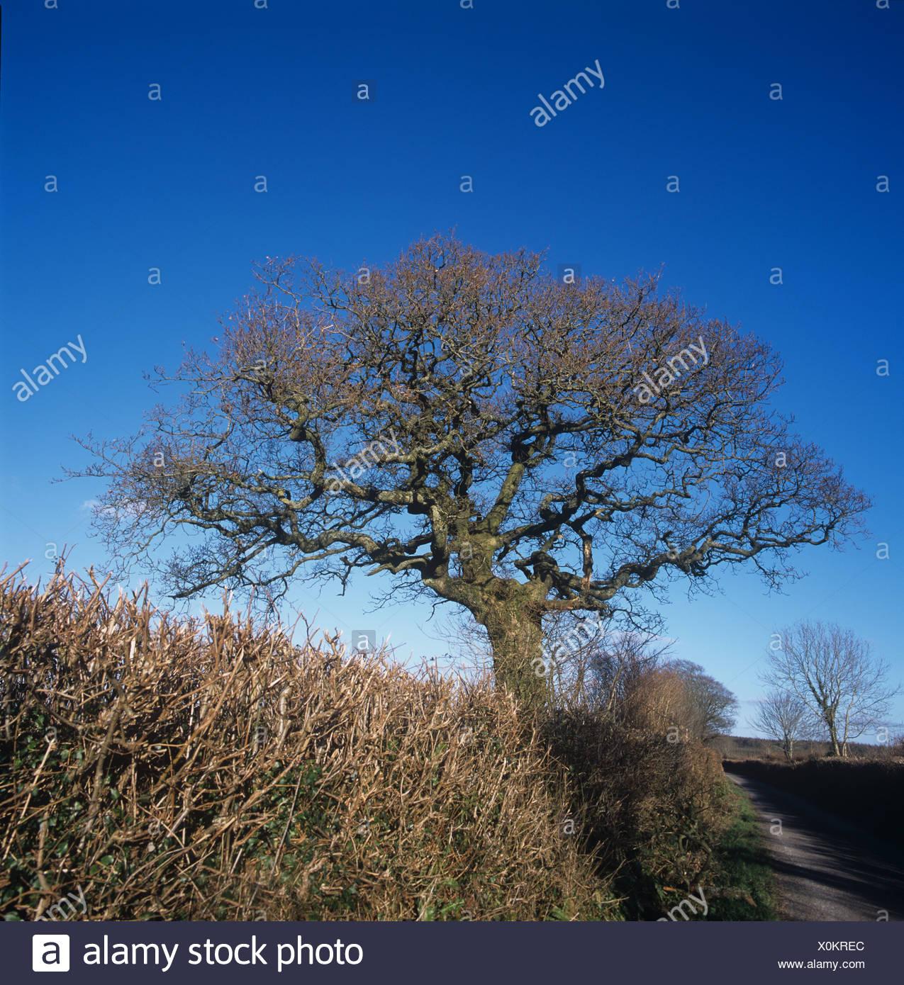 Leggermente ritorto sfrondato matura quercia in Devon siepe contro un blu cielo invernale Immagini Stock