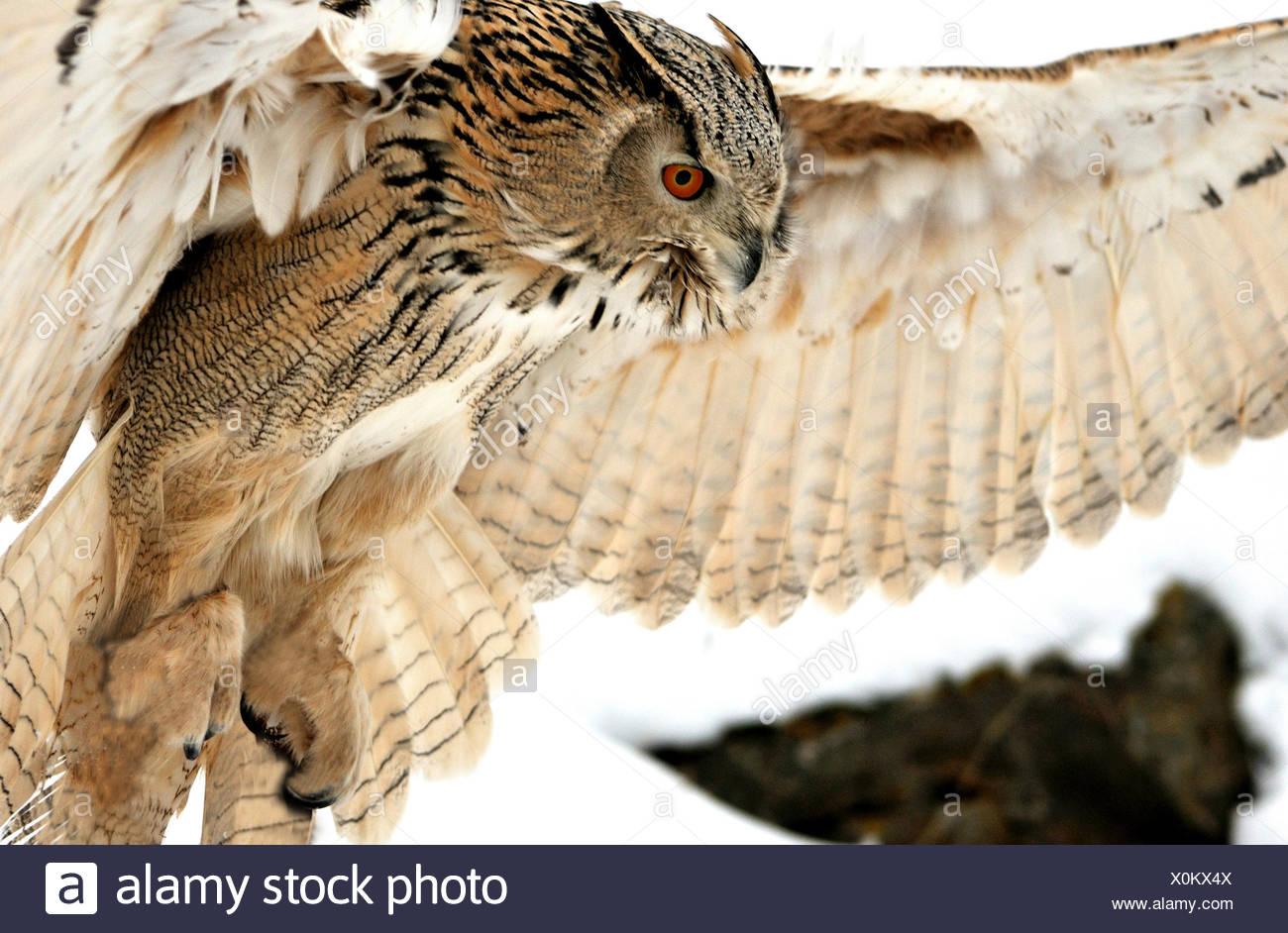 Il gufo gufi Siberian owl Bubo bubo sibiricus gufi-come la notte gli uccelli rapaci uccelli bird raptor animali animali Germania Europa, Immagini Stock