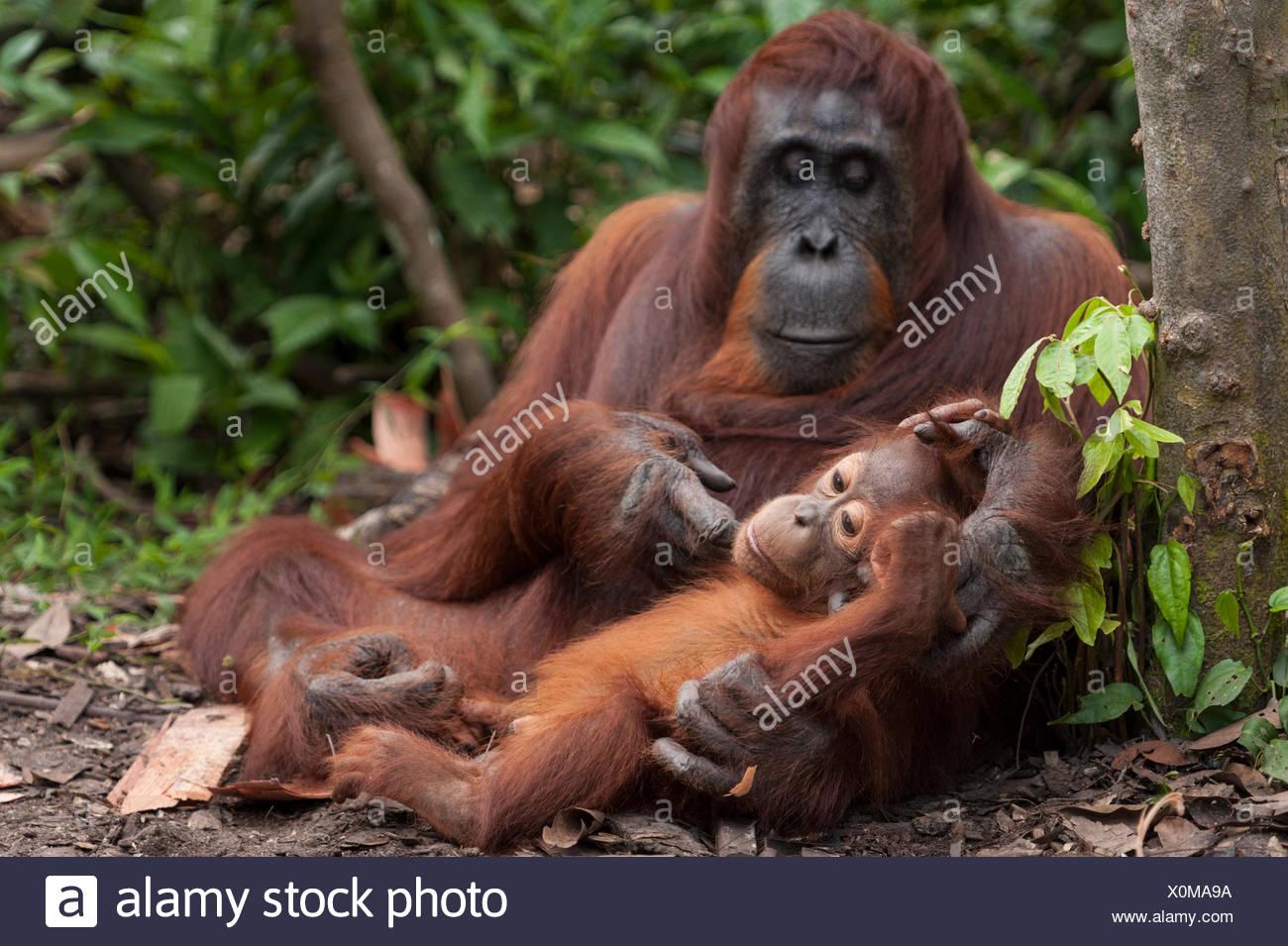 Bornean Orangutan (Pongo pygmaeus wurmbii) la madre e il bambino, Tanjung messa National Park, Borneo Kalimantan centrale, Indonesia. Specie in via di estinzione. Immagini Stock