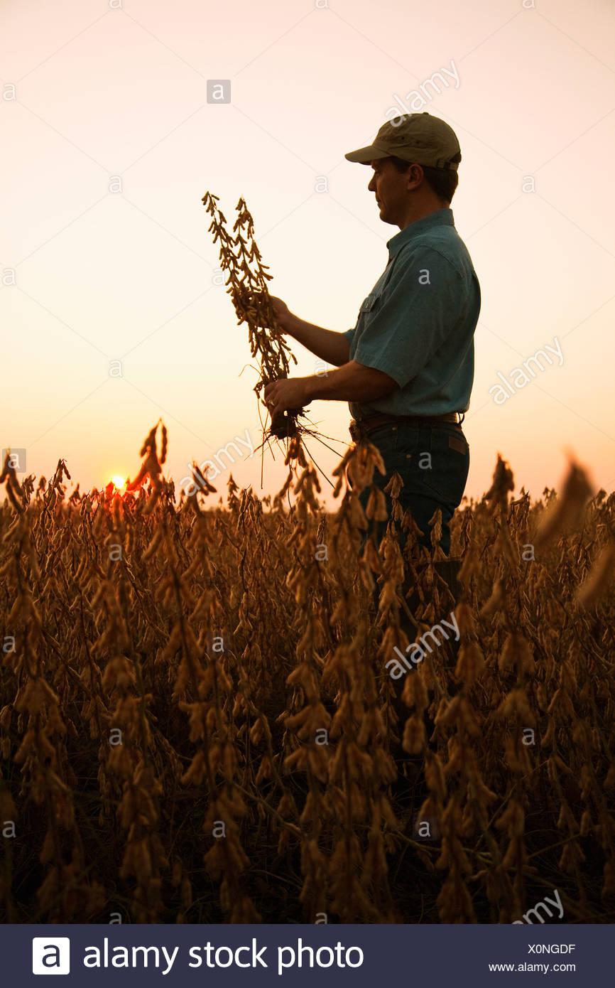 Agricoltura - un agricoltore (coltivatore) ispeziona il suo raccolto maturo pronto il raccolto di soia all'alba / Arkansas, Stati Uniti d'America. Immagini Stock