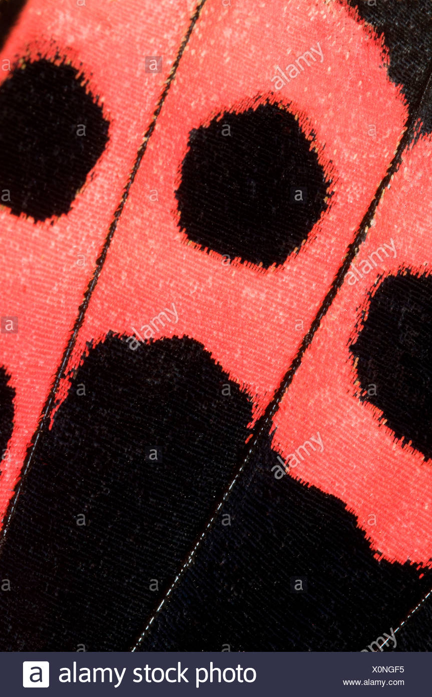 Parte inferiore Hindwing marcature di scarlet mormone butterfly (Papilio rumanzovia). Immagini Stock