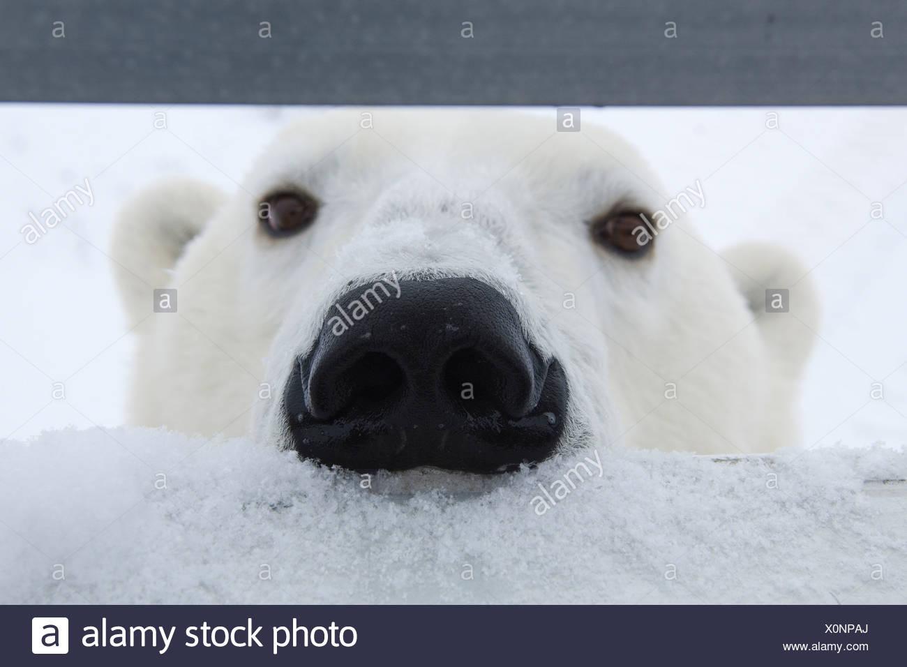 Orso polare {Ursus maritimus} sniffing presso gli occupanti del veicolo riprese, Churchill, Manitoba, Canada Foto Stock