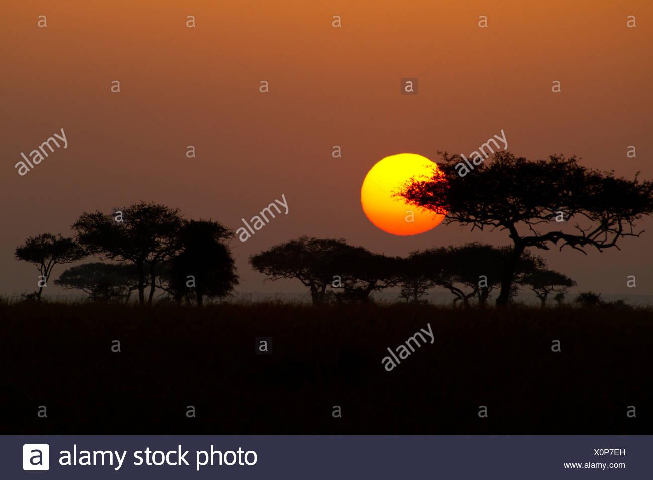 Tramonto su gli alberi di acacia del Serengeti Immagini Stock