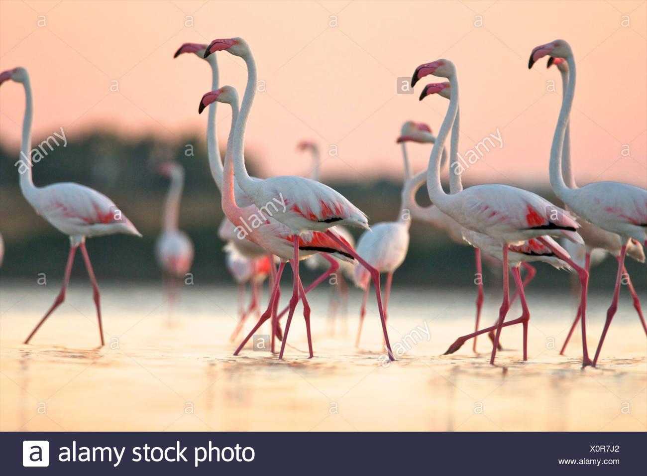 Gruppo di fenicotteri rosa all'alba, regione di Oristano in Sardegna, Italia Immagini Stock