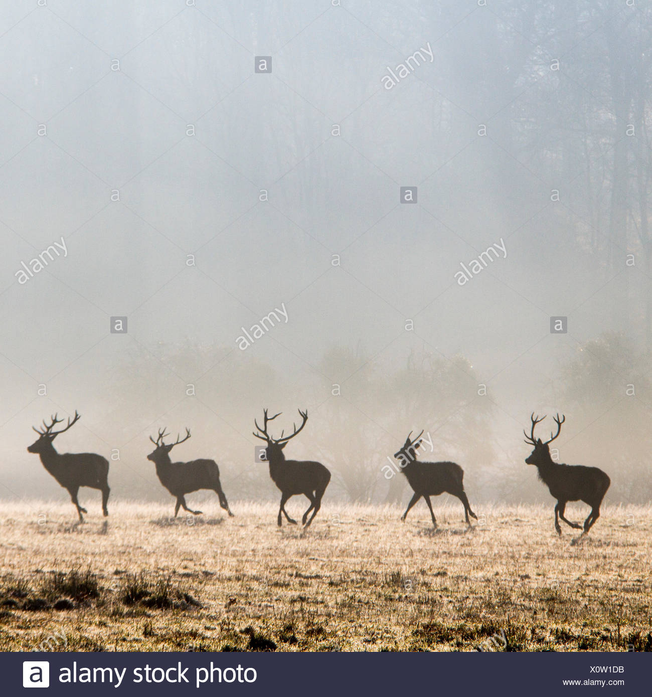 Fila di cervi in esecuzione nel parco, Berkshire, Inghilterra, Regno Unito Immagini Stock