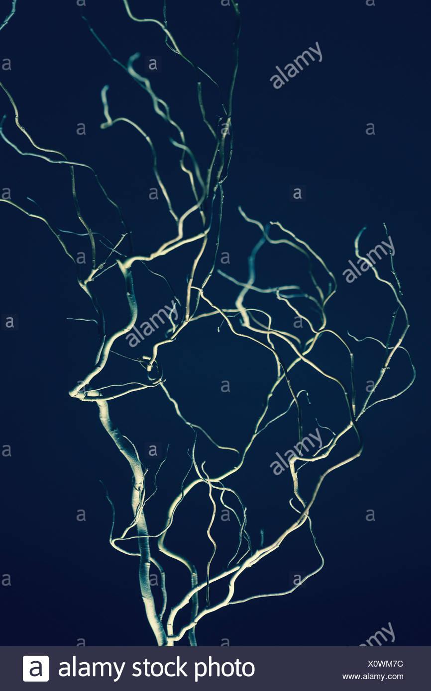 Willow rami di alberi Immagini Stock