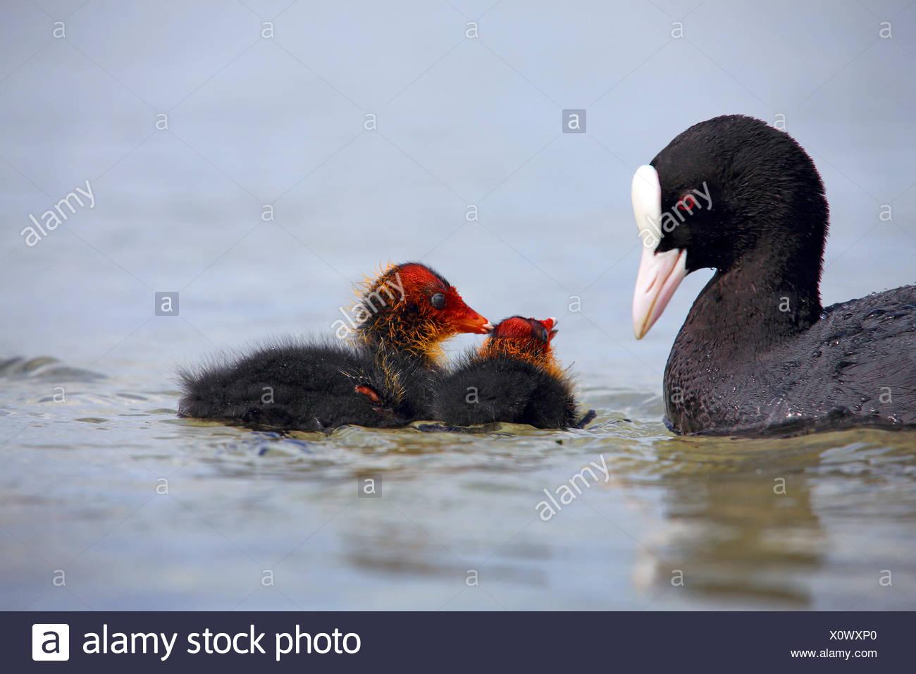 Nero la folaga (fulica atra), uccello adulto con due pulcini sull'acqua, Germania Immagini Stock