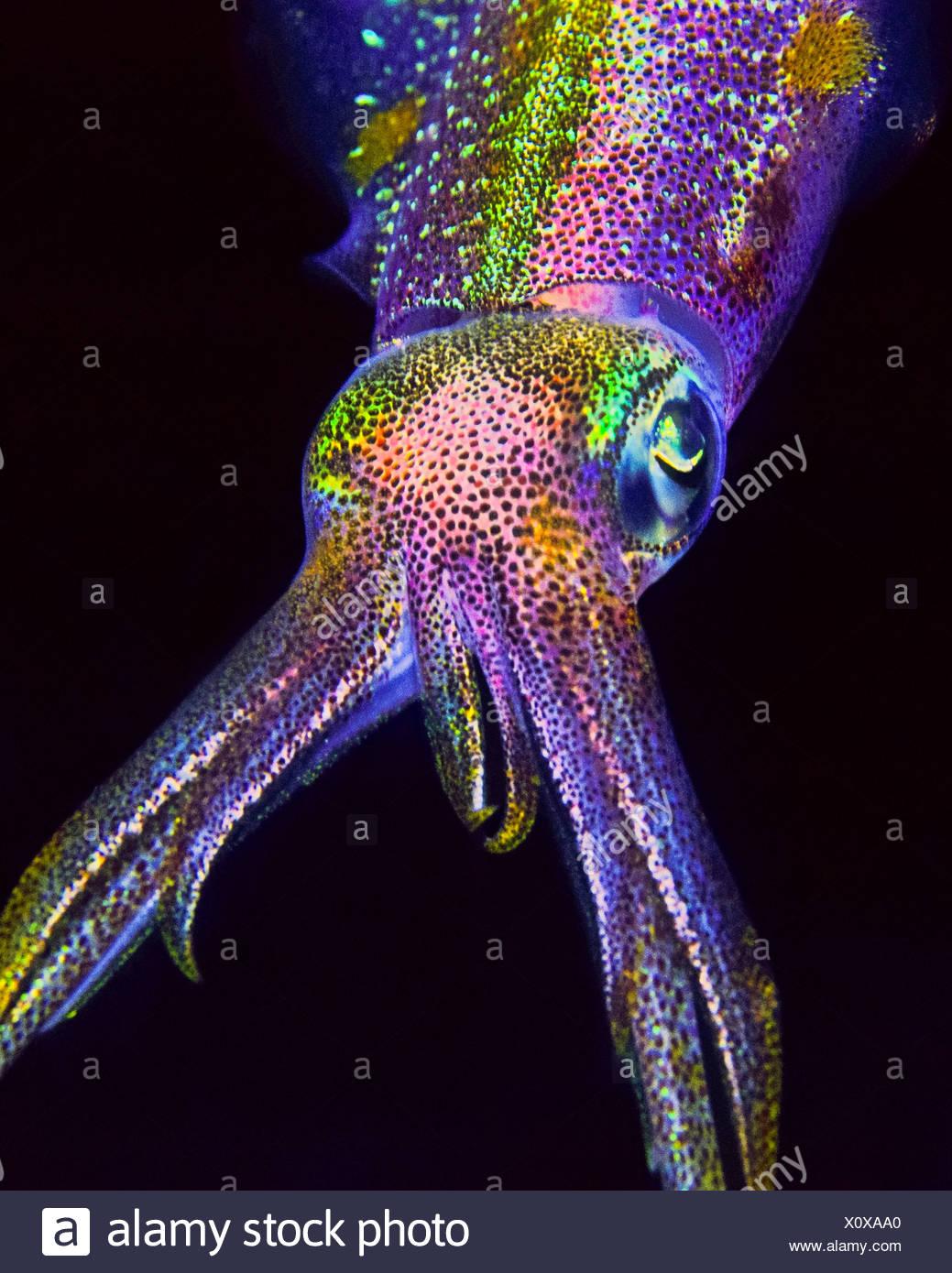 Barriera corallina caraibica calamari, Sepioteuthis sepioidea, Key Largo, Florida, Stati Uniti d'America Immagini Stock