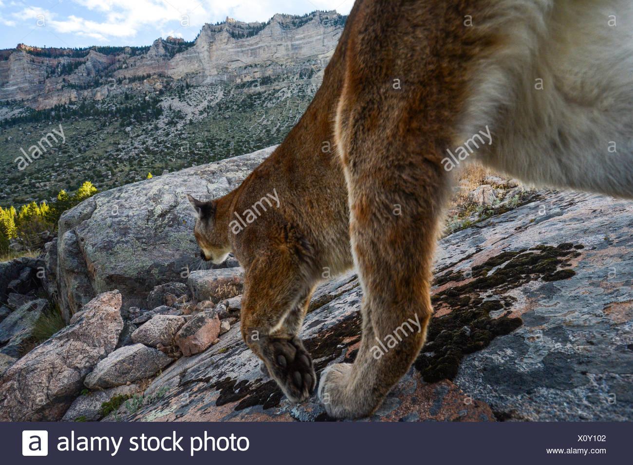 Una telecamera remota acquisisce una montagna di Lion in Wyoming della grande ecosistema di Yellowstone. Immagini Stock