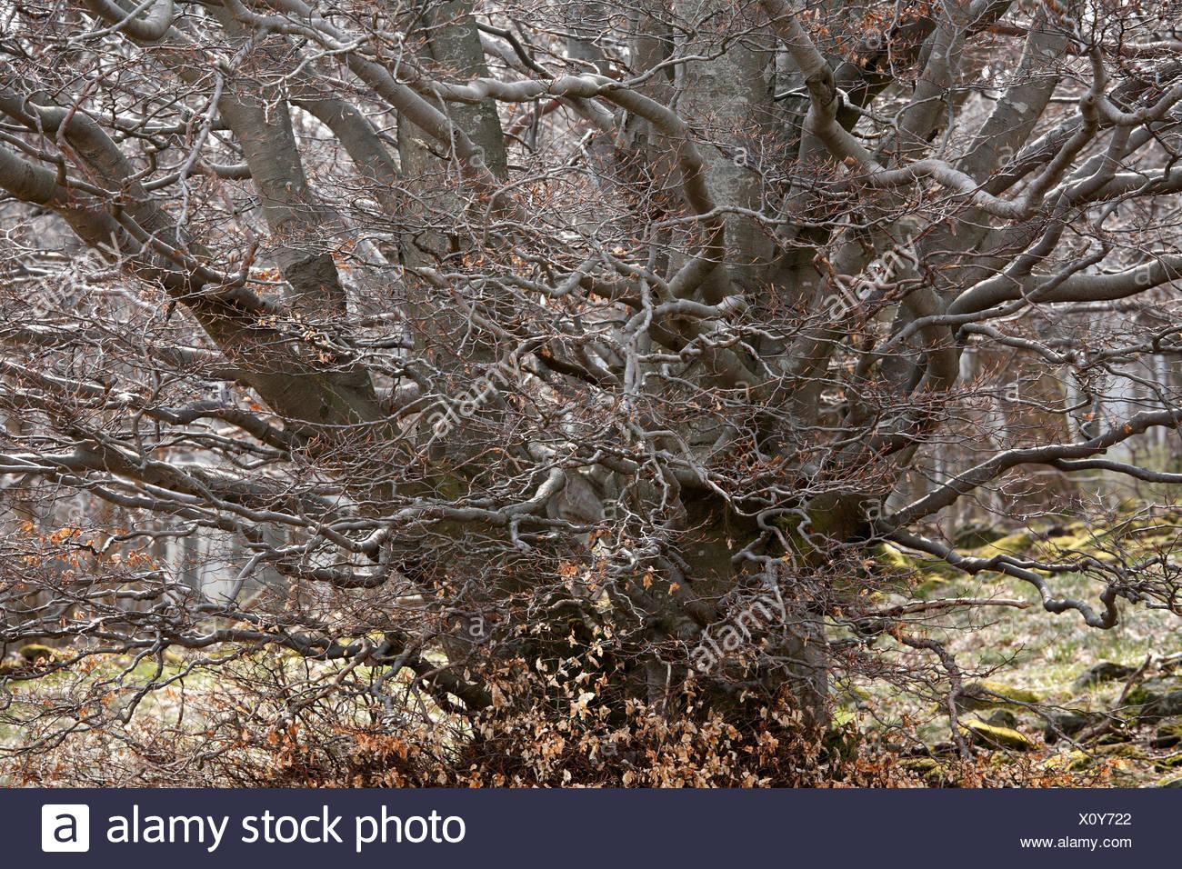 Vecchio twisted faggio (Fagus), Lange Rhoen, bassa Franconia, Baviera, Germania, Europa Immagini Stock