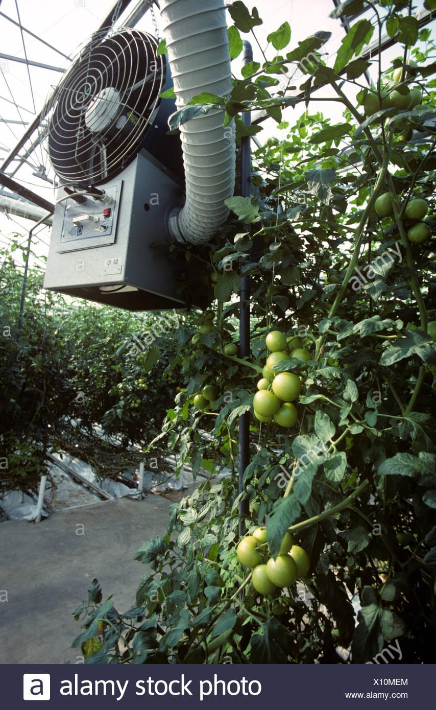 La ventola del riscaldatore condotti in grandi commerciale serra di pomodoro Immagini Stock