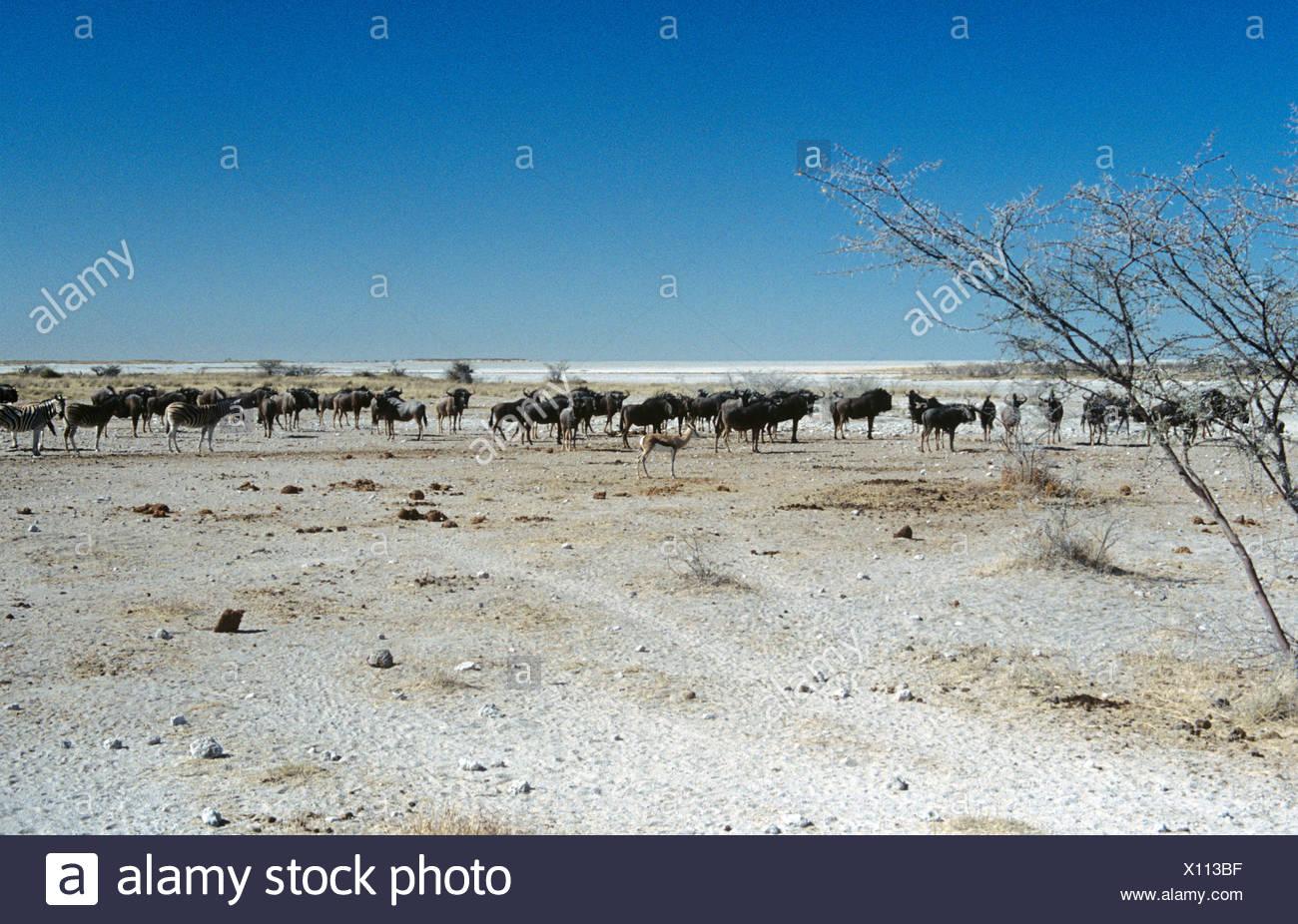 Gli allevamenti di animali su Etosha pan Immagini Stock