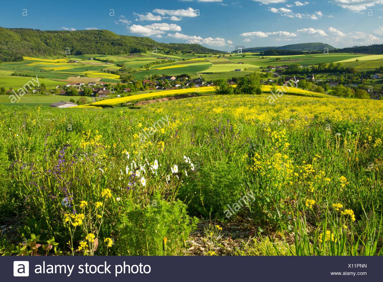 Randen, ruvida pascolo, Beggingen, molla, Canton, SH, Sciaffusa, fiori, fiori, paesaggio, paesaggio, agricoltura, prato, Sw Immagini Stock