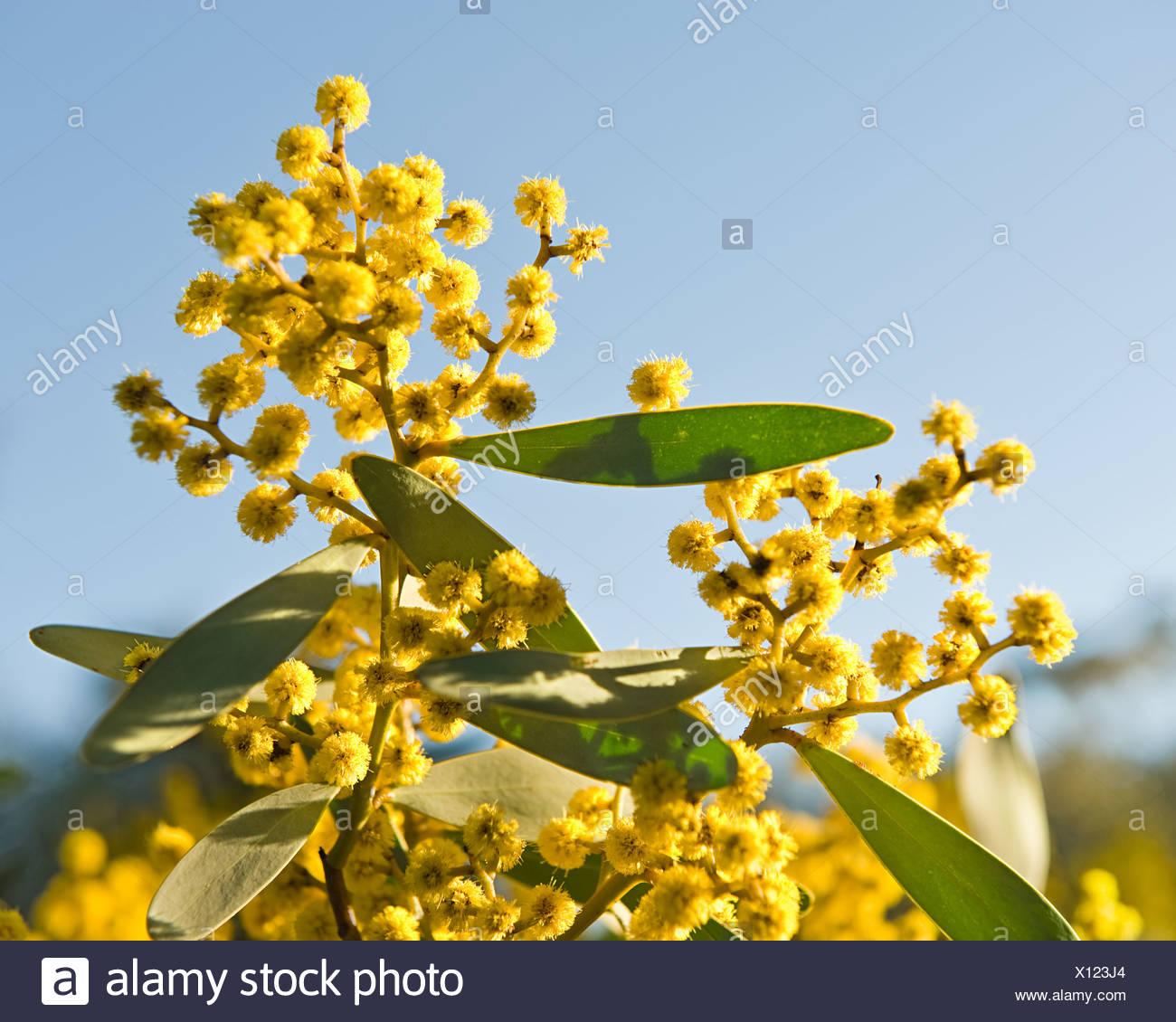 Australian acacia Immagini Stock