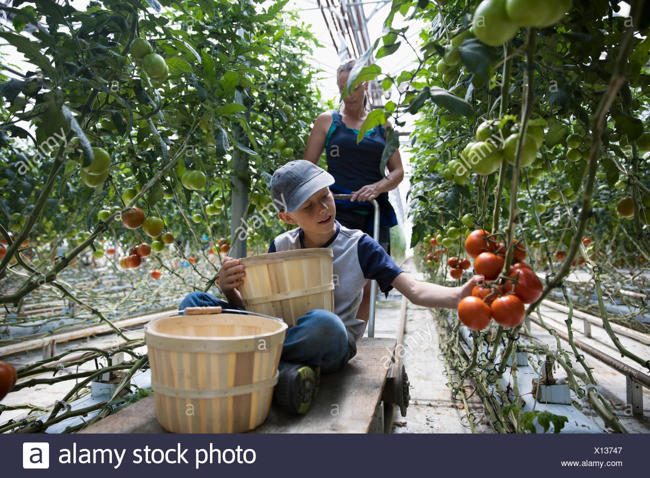 Ragazzo con i bushel pomodori di raccolta in crescita su pianta di pomodoro in serra Immagini Stock