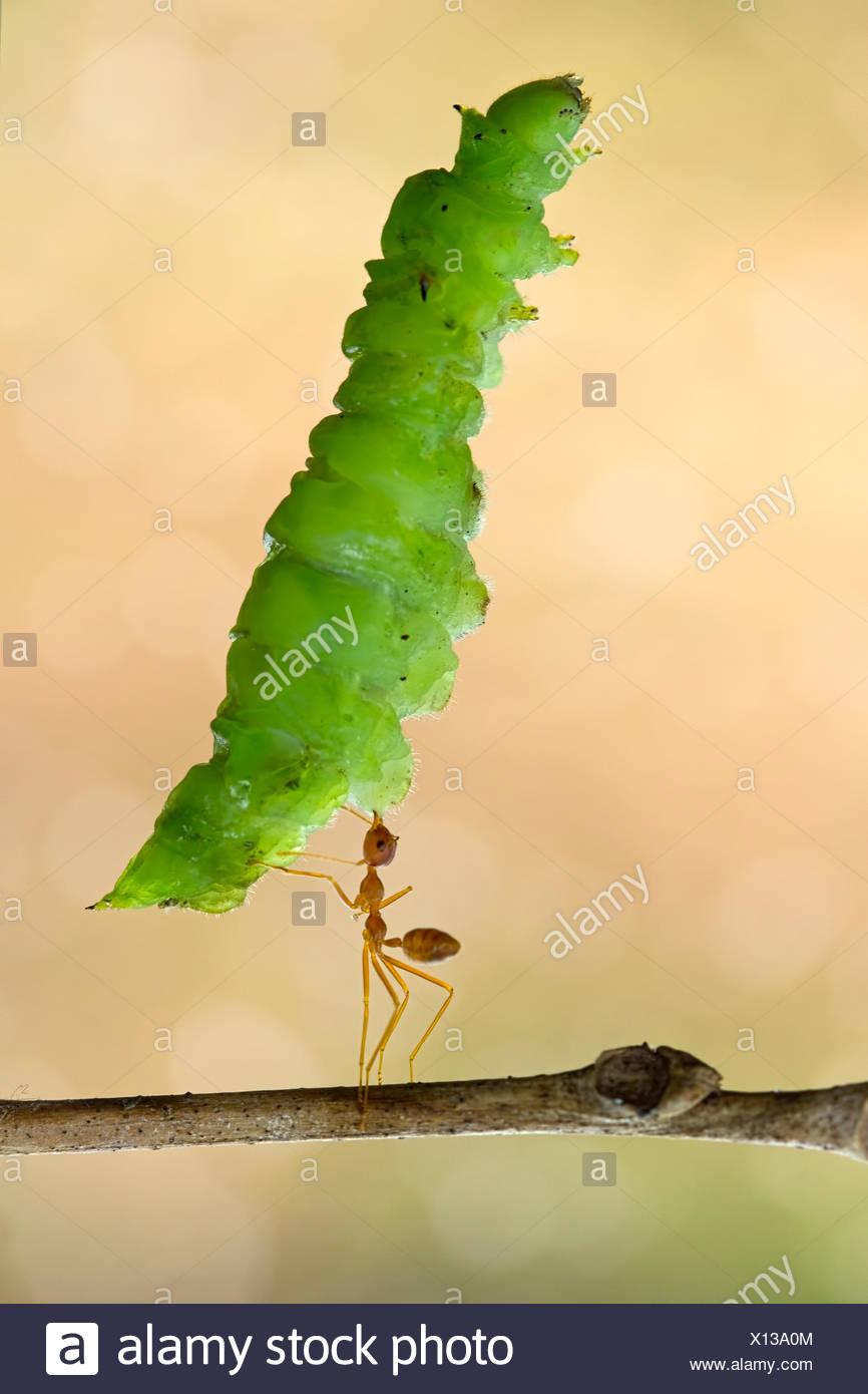 Ant portando grandi foglie Immagini Stock
